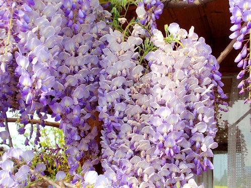 Glycine - Wisteria sinensis