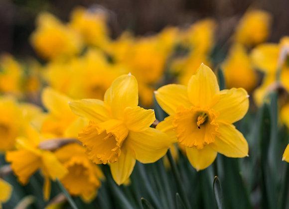 Cornish Narcissi (Daffodils)