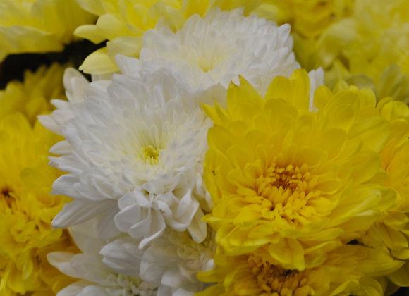 Colourful Chrysanthemums