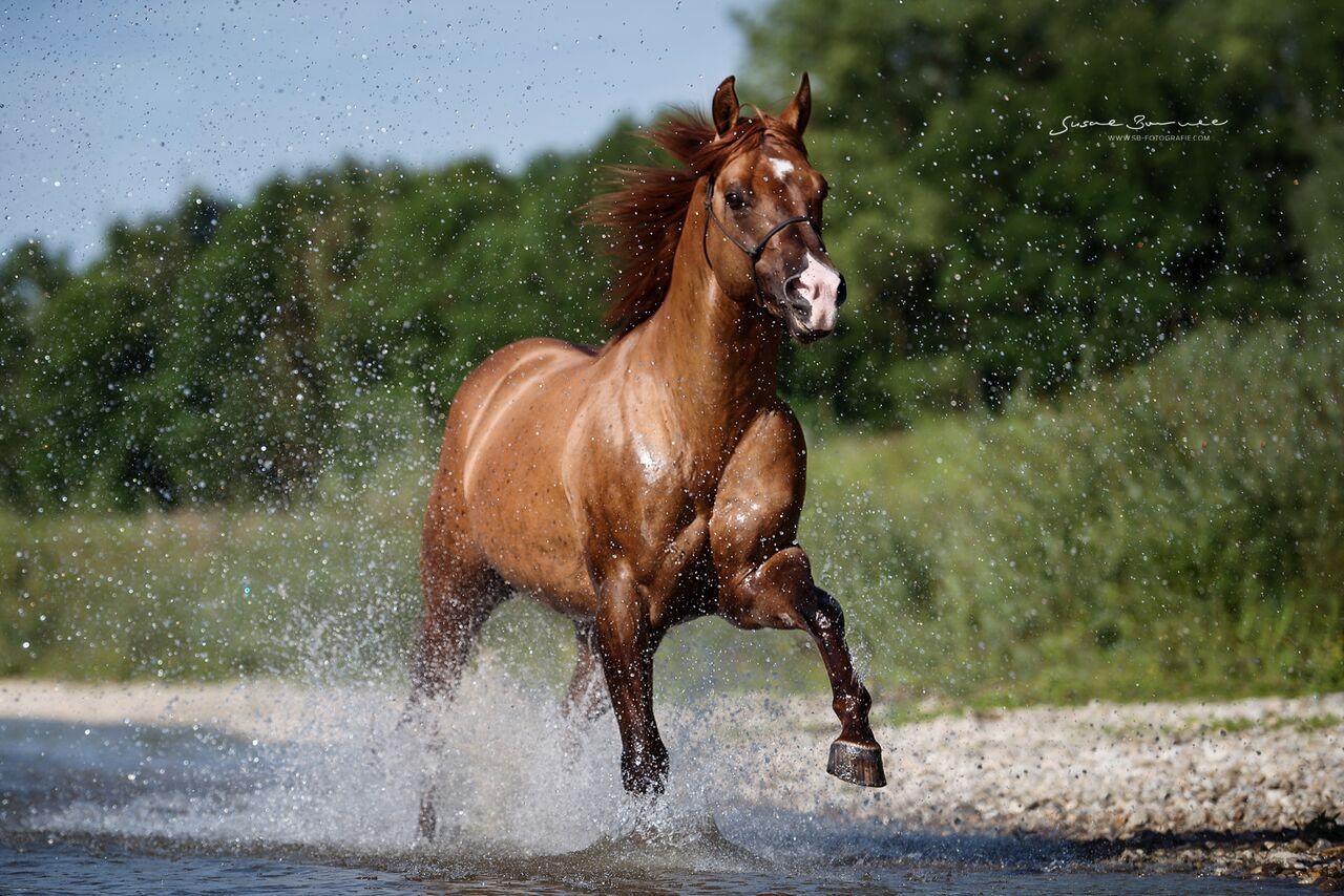 Quarter Horse Hengst I am a Ruf Boy