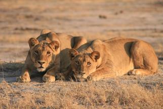 Lions, Hwange National Park