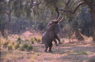 Elephant reaching for food