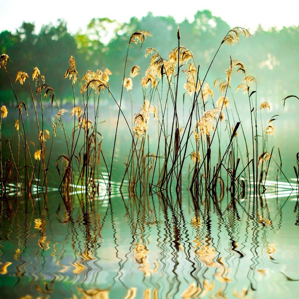 Reeds in Lake image
