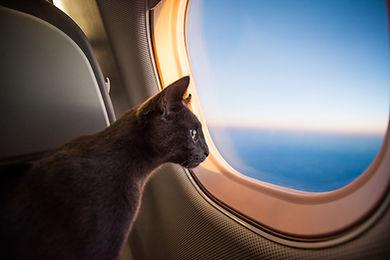 Cat on flight.jpg