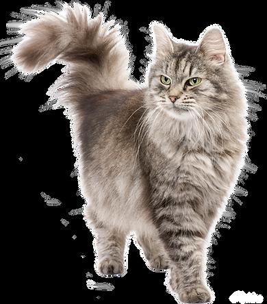 kisspng-siberian-cat-persian-cat-stock-p