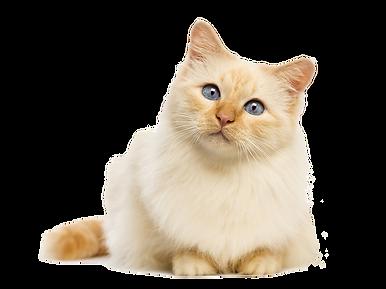 kisspng-cat-food-kitten-felidae-dog-cat-