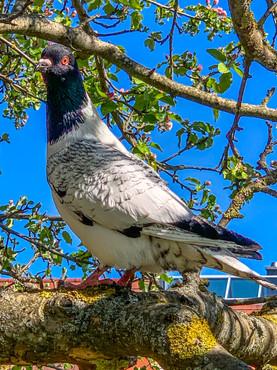 Taube im Obstbaum