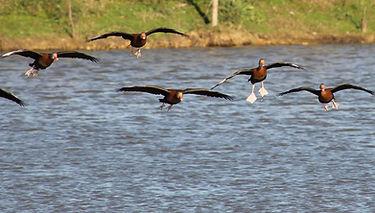 Whistling Ducks.jpg