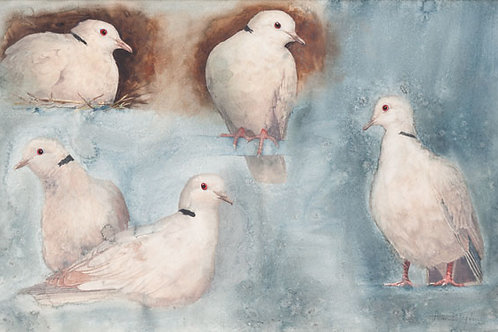 Ring necked Doves