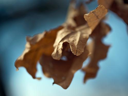 Evan Zelermyer|boutiqueart|Winter Leaves 2