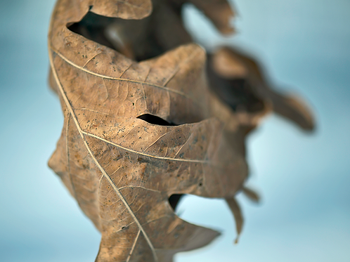 Evan Zelermyer boutiqueart Winter Leaves 4