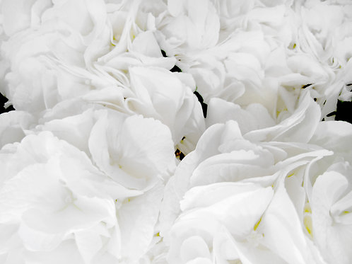 Franco Lacosta|boutiqueART|boutiqueartprints|Flora 3343|White Flowers