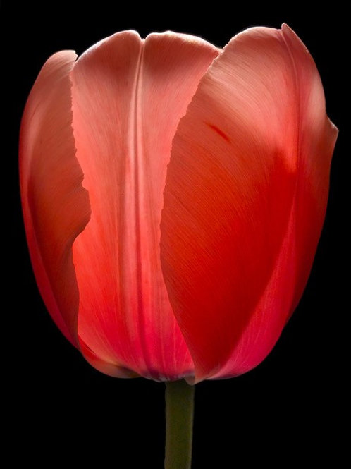 Don Perdue|boutiqueartRed Tulip