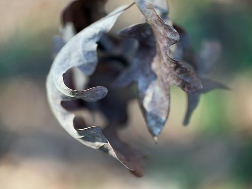 Evan Zelermyer|boutiqueart|Winter Leaves 3
