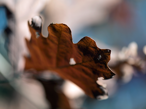 Evan Zelermyer|boutiqueart|Winter Leaves 7