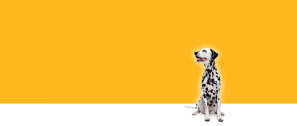 Dalmatian Header Yellow.jpg