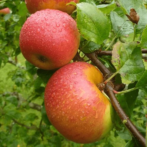 Blenheim Orange / kg