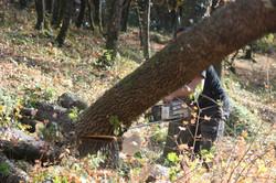abattage chêne