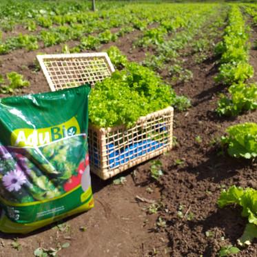 Dicas para o cultivo de alface com AduBio®