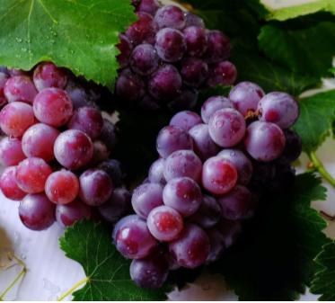 Tudo sobre o cultivo de Uva