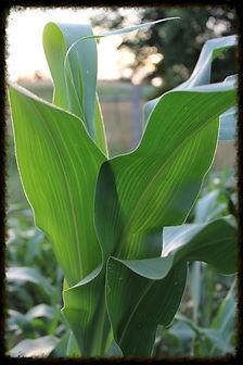 organic NON-GMO corn