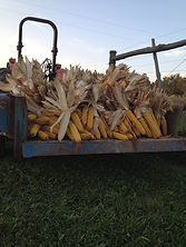 NON-GMO corn harvested by hand