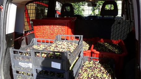 La raccolta di olive