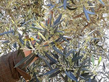 La floración del Olivar