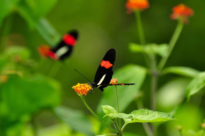 Postman butterfly Heliconius erato