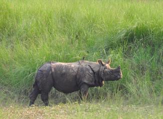 One Horned Rhinoceros (Rhinoceros unicornis)