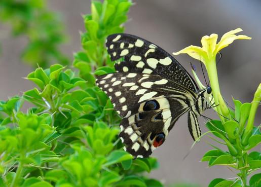 Citrus Swallowtail butterfly Papilio demodocus