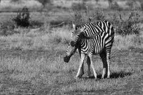Plains Zebra Equus quagga One of two remaining species of zebra in southern Africa. The Plains Zebra is identifiable from it's cousin, the Mountain Zebra, by it's 'shadow stripes' between the prominent stripes on it's coat.