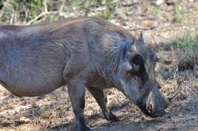 Common Warthog Phacochoerus aethiopicus