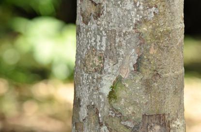 Lichen Huntsman Spider (Pandercetes gracilis)