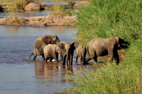 African Elephant herd Loxodonta africana Elephants require enormous territories for populations to remain healthy and ultimately to survive. Along side the better known threat of the illegal ivory trade, habitat loss is a huge problem; both from human settlement and more recently from the warming climate in the region. As desertification occurs in some areas, the available forage becomes too poor to sustain populations. If an Elephant population becomes 'trapped' in too small a territory (including many protected areas) they cause much damage to woodland and scrub and this can have serious knock on effects in the ecosystem. There are wildlife reserves in Africa where the culling of Elephants is considered a necessary solution.