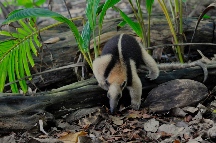 Northern Tamandua Tamandua mexicana