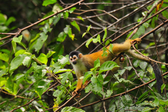 Red-backed Squirrel Monkey Saimiri oerstedii