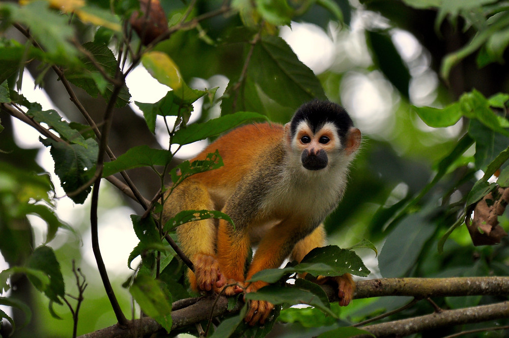 Central American Squirrel Monkey Saimiri oerstedii Once widespread, this monkey now only survives in the Manuel Antonio National Park, on the wild Osa Peninsula, close to the Panama border on the Pacific Coast of Costa Rica and the very northern pacific tip of Panama. Since 2008 the species has classified on the IUCN red list as 'Vulnerable'