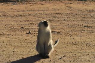 Vervet Monkey Cercopithecus aethiops