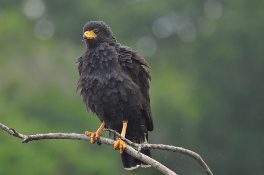 Common Black-Hawk Buteogallus anthracinus
