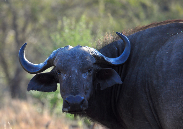 African Buffalo Syncerus caffer Buffalo can be aggressive and dangerous, especially when they are few in number or on their own.