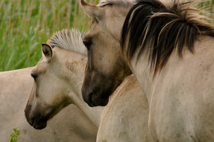 This was taken at RSPB Minsmere Nature Reserve, on the Suffolk coast. These semi-wild horses are in fact a primitave horse originating in Poland. They are known as Konik Polski. They have a beautiful colour and faint markings reminiscent of wild horses.