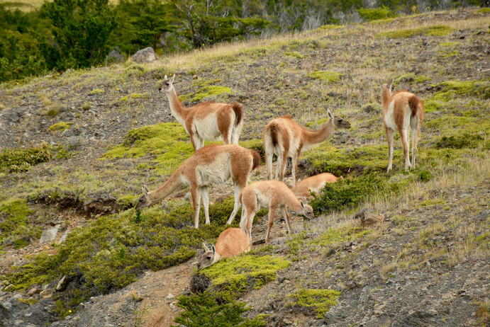 Guanaco (Lama guanicoe)  A south american species of lama native to the Patagonian region. They are numerous in the Torres del Paine national park due to less grazing competition from large cattle ranches and sheep farms. They live in small herds and move purposefully over the Pampas plains to remain safe from their predators, pumas and foxes.