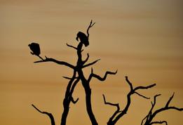 White-backed Vulture Gyps Africanus