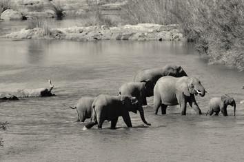 African Elephant Loxodonta africanus