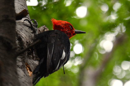 Magellanic woodpecker (Campephilus magellanicus)  This is a male of the large species of woodpecker endemic to the forests of this region. They float in a sort of dipped 'U' shape from tree to tree as if on an aerial half-pipe! Once settled on a tree they move decisively up the trunk in search of beetles and grubs. They are not shy animals, perhaps on account of their size.