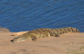 Nile Crocodile Crocodylus niloticus