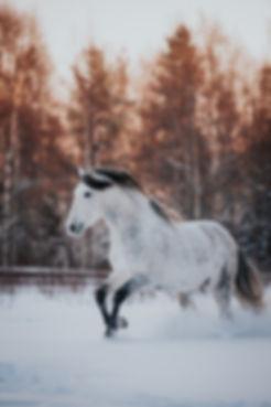 PRE häst