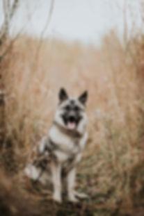 Gråhund