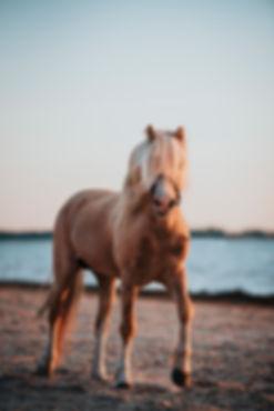 Häst på stranden